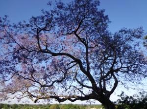 Jacarandá tree